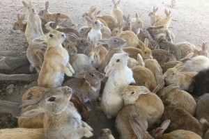 "The rabbits at ""Rabbit Island"" Japan"