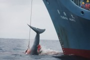Japan is ordered to stop whaling by International Court of Justice.