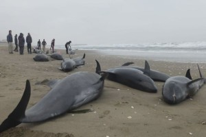 Mass stranding of dolphins in Ibaraki, Japan, April 2015